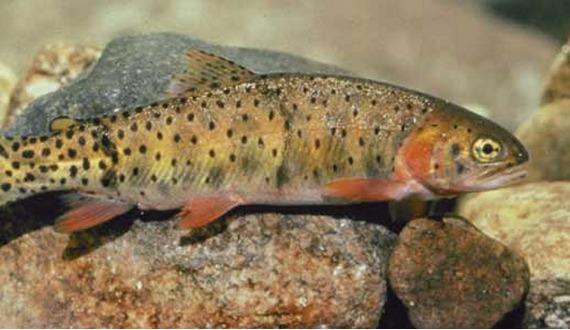 Natural history for Colorado fish species