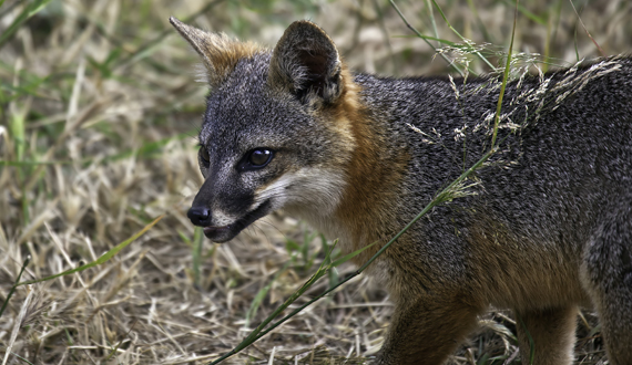 The small size of island foxes is an adaptation to the limited ...